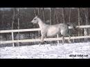 Ахалтекинский жеребец Дозор/Akhal-teke stallion Dozor