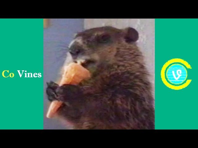 Top Animal Vines 2016 (w/Titles) Funniest Pet Compilation - Co Vines✔