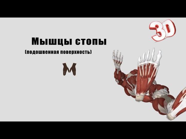 Мышцы стопы (подошвенная поверхность) - детальный обзор 3Д