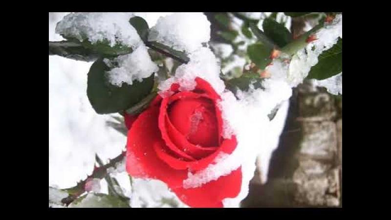 წითელი ვარდები თოვლზე ლევან კაშმაძე 2017