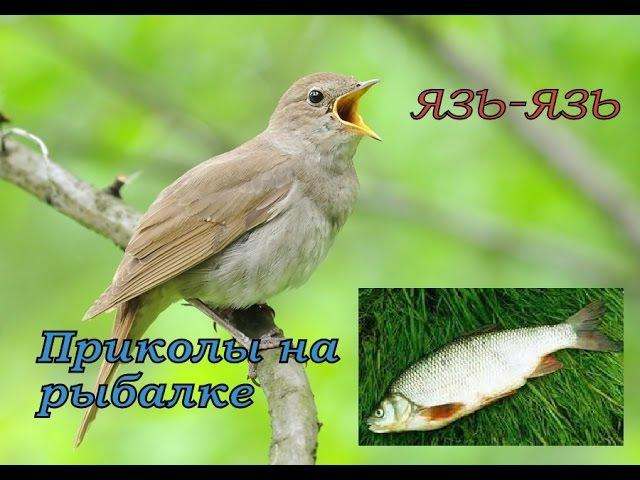 Пение соловья приманит даже язя ПРИКОЛЫ НА РЫБАЛКЕ 2015 Пародия на язь рыба моей мечты