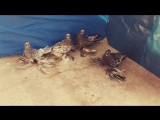 ГОЛУБИ ГЕРМАНИЙ - ДВУХЧУБЫЕ ЧЕЛКАРИ - МРАМОРНЫЕ ГОЛУБИ - PIGEONS - TAUBE_HIGH.mp4