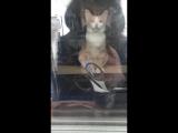 Кот-кассир на заправке в Кизеле