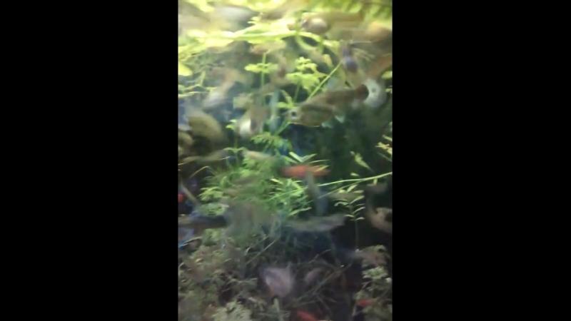 Аквариумы Владимира. Гуппи, барбусы, моллинезии, пицелии