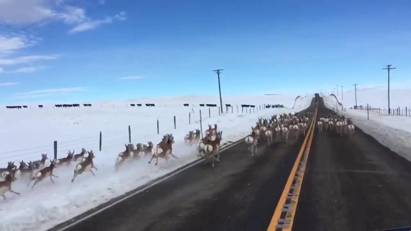 Antelope running down Highway 41 in Montana