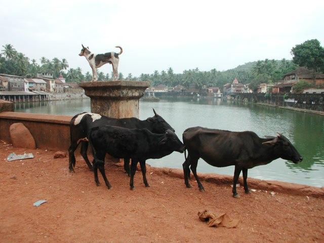 гокарна коровы