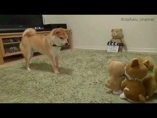 Сиба-ину лает на игрушки-повторяшки   Shiba Inu barks at talking toys