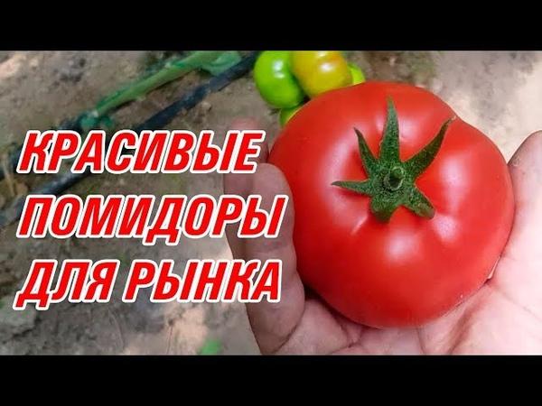 Прекрасные томаты для рынка и экспорта TM 11064 F1, TM 11058 F1, TM 11065 F1 (27-05-2018)