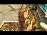 Проверка зрелости мёда.