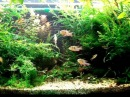 200 Liters Planted Tank with Bolivian Ram and Bolbitis