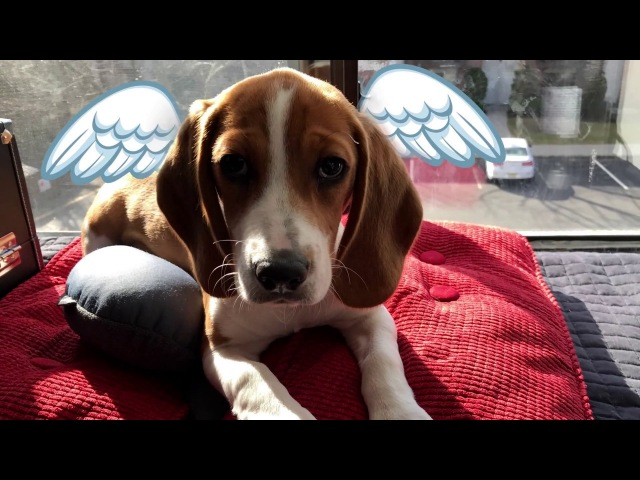 Beagle Sweet and Sour !