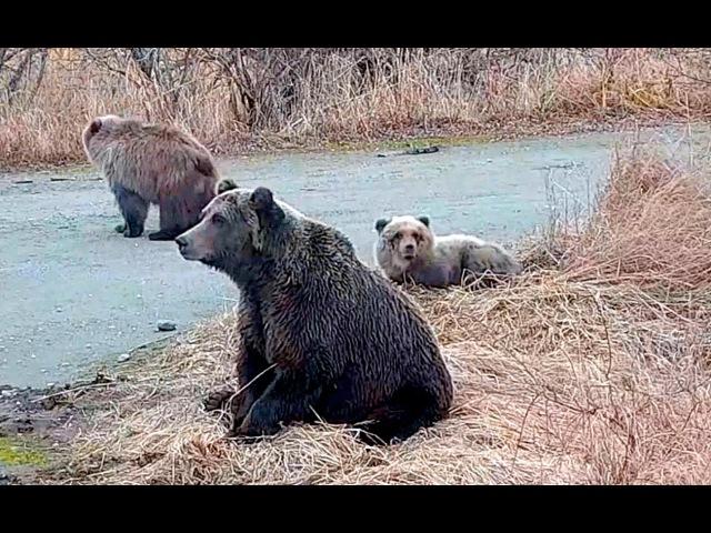 12 Аляска Суровая природа Так умирал медвежонок Жалко Alaska Harsh nature - as bear cub died Pity