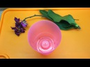 Необычный экстренный способ реанимации орхидеи без корней с цветоносом.