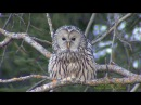 SLAGUGGLA Ural Owl (Strix uralensis) Klipp - 2229