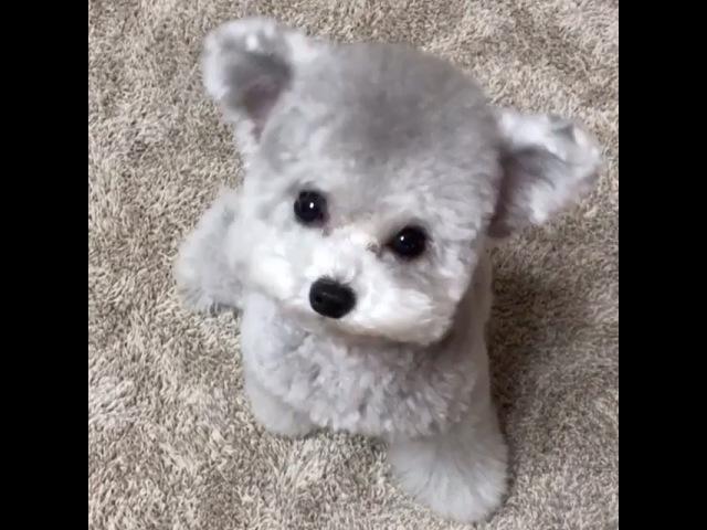 "@bestviideo on Instagram Silver poodle 🐶 By @spicedogsss"""