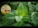Мелисса полезные свойства выращивание использование