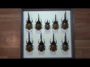 My collection of Dynastes hercules 9 subspecies