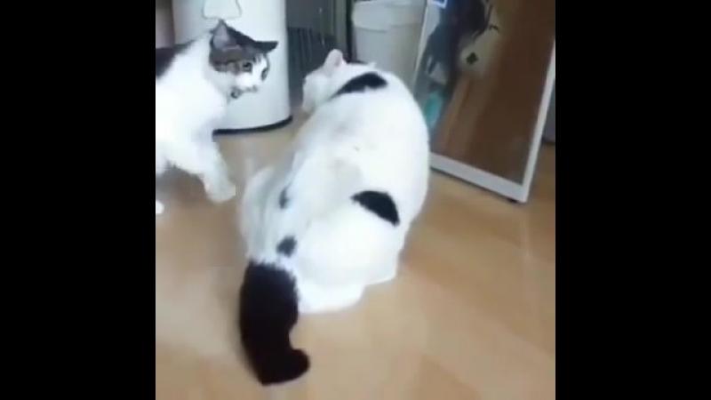 Захватывающее видео кошачьей схватки