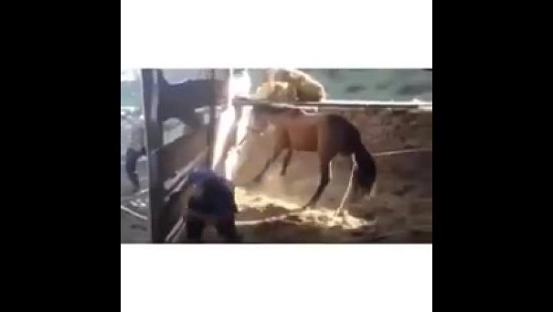 Казакша прикол 🐎 Асау айғыр жігіттің басынан тепті 2015.240.mp4
