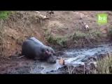 Бегемот убивает антилопу