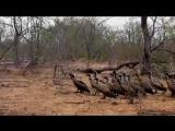 Стая стервятников отбирает обед у гепардов