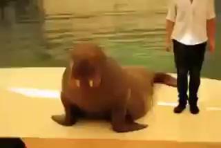 Танец Майкла Джексона в исполнении моржа