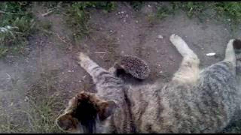 Смешные ёжики и кошки вместе играют » Freewka.com - Смотреть онлайн в хорощем качестве