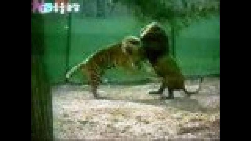 Африканский Лев против Бенгальского Тигра