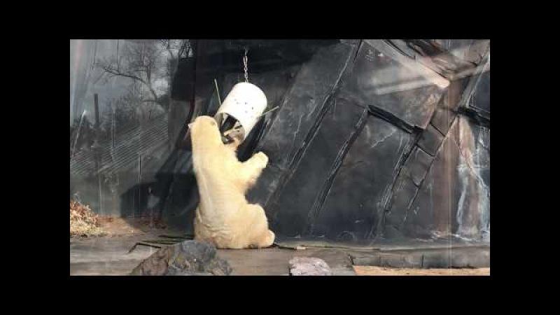 Saint Louis Zoo polar bear Kali explores his new enrichment