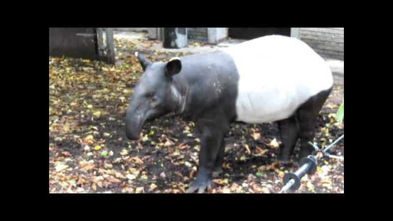 This is what a Tapir sounds like