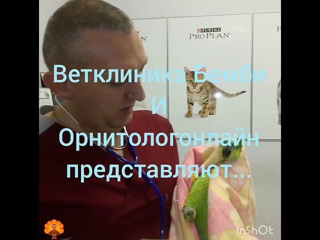 Аускультация попугая и взятие смывов на орнитоз и микоплазмоз