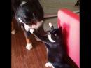 Злобный кот, терроризирующий собаку, стал интернет звездой