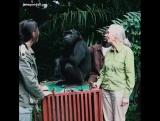Шимпанзе Ванда прощается со своими спасителями... Особенно с биологом доктором Джейн Гудал