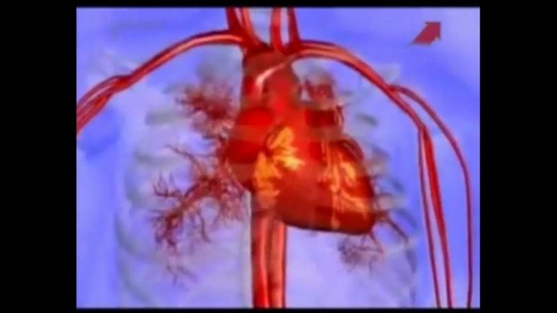 Тело человека. Сердечно-сосудистая система.