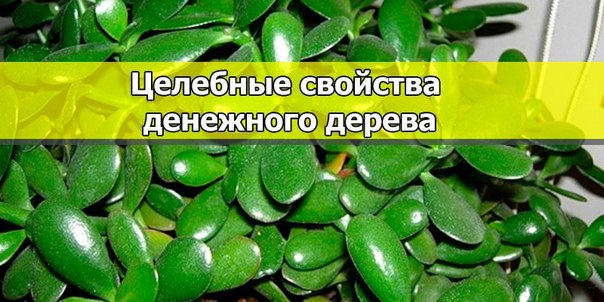 Мало кто знает, что по своим полезным свойствам толстянка, или как ее еще называют — денежное дерево, ничуть не уступает алоэ.
