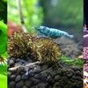 Evgnshrimps. Креветки, аквариумы.