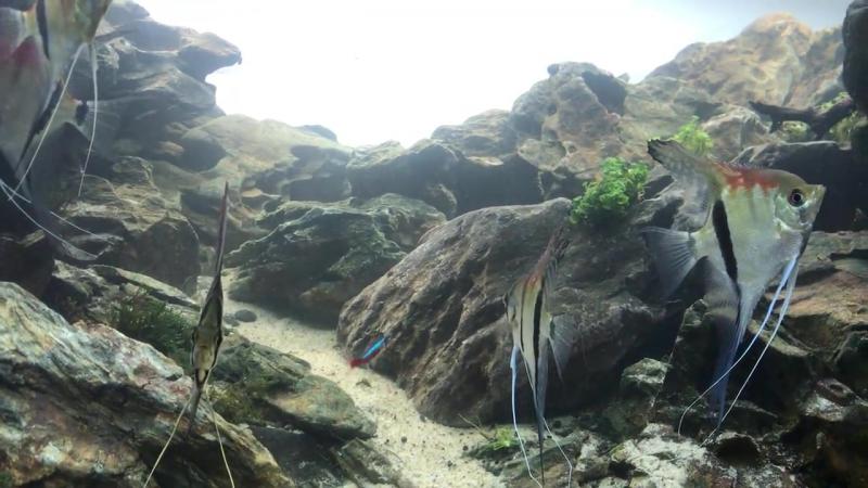 Альтумы в каменистом аквариуме от Ngo Truong Thinh