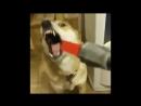 Одержимый пес