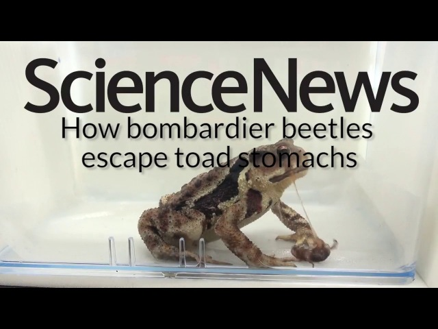 How bombardier beetles escape toad stomachs   Science News