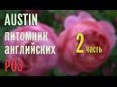 AUSTIN английские розы цветение в питомнике Эпизод 2
