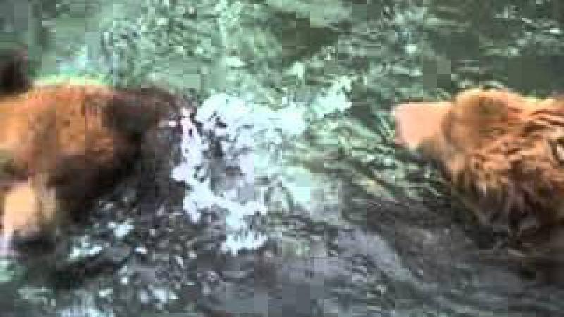 Kamchatka bears , камчатка медведи