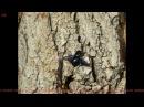 Шмель-плотник фиолетовый (лат. Xylocopa violacea)