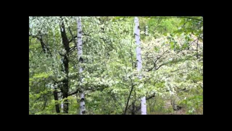 звуки природы живой лес , пение птиц, звуки природы соловей