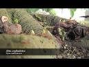 Atta cephalotes Муравьи листорезы