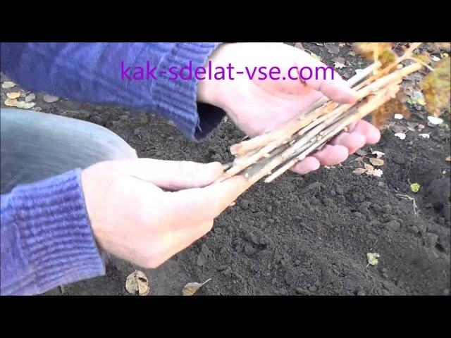 Размножение смородины черенками осенью.