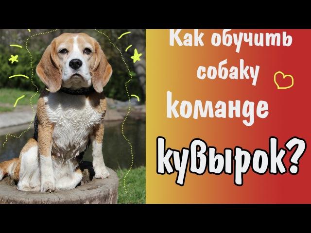 Как научить собаку команде кувырок?   Секреты дрессировки