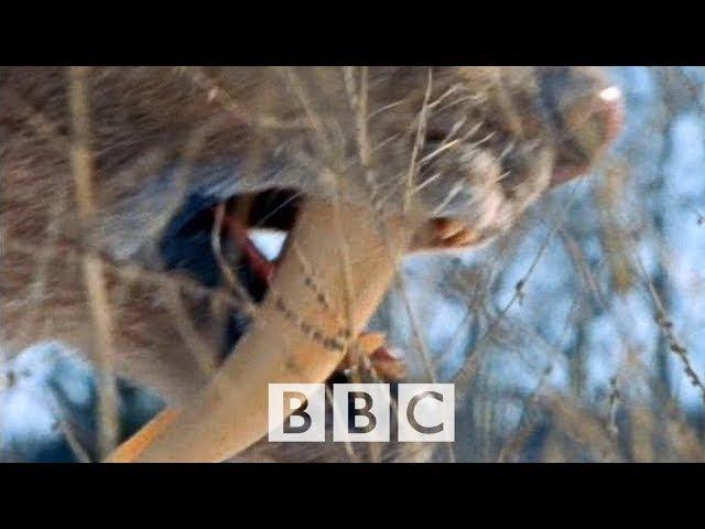 BBC Доисторические монстры Чудовища которые нас кушали 1. Вечная грань