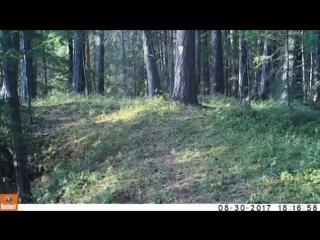 У леса на опушке стоит фотоловушка, и к ней не зарастает звериная тропа!