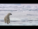 Белые медведи голодают из за глобального потепления