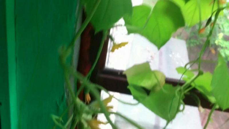 Цветочки-росточки (Чечевика)-Огурцы